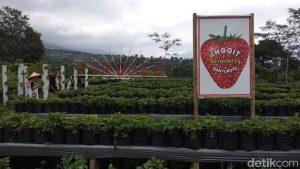 Agrowisata Stroberi Banyuroto